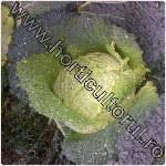 Varza creata_Brassica oleracea var. sabauda
