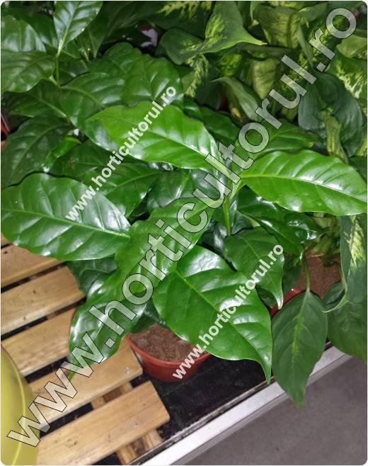 arborele de cafea in ghiveci