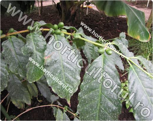 fructele de cafea-Coffea stenophylla