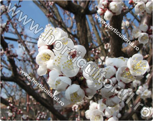 Caisul (Prunus armeniaca)