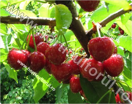 Ciresul Kordia -Prunus avium