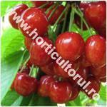 Ciresul-Prunus avium