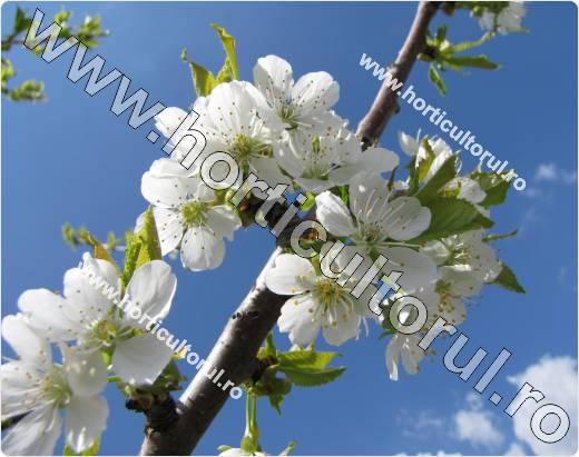 Ciresul -Prunus avium
