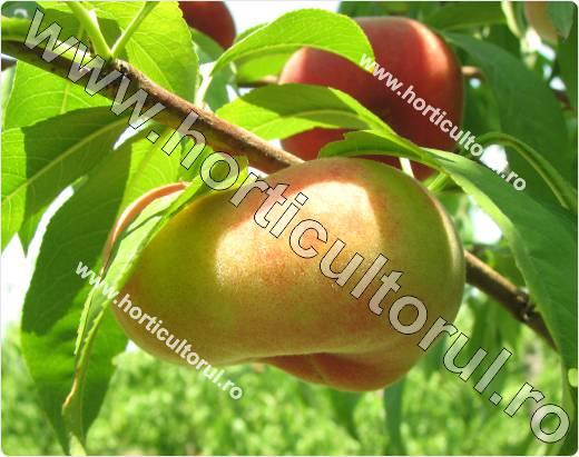 Piersicul-Prunus persica-piersici disc