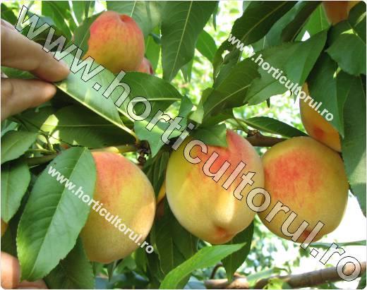 Piersicul (Prunus persica)