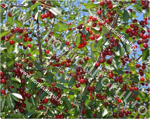 Visinul (Prunus cerasus)