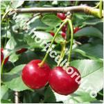 Visinul-Prunus cerasus