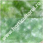 Fainarea gutuiului-Podosphaera clandestina