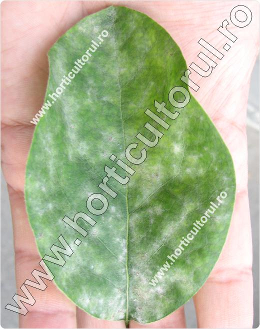Fainarea gutuiului (Podosphaera clandestina)