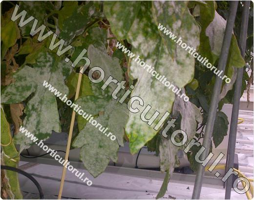 Fainarea la tomate (Leveillula taurica)