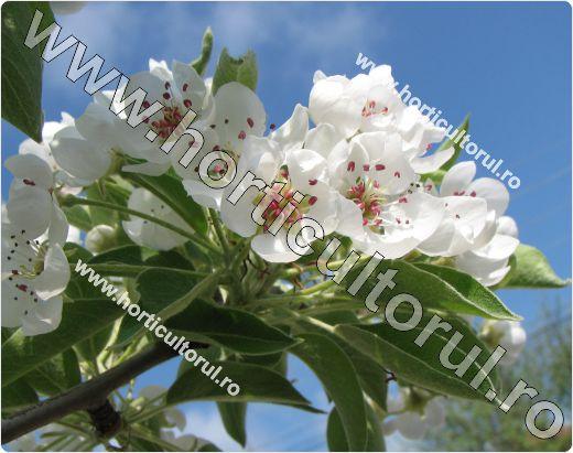 Flori de par-Pyrus communis