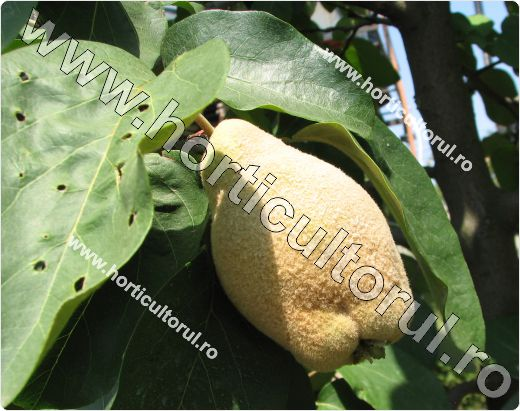 Gutuiul (Cydonia oblonga)