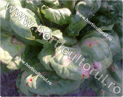 Mana salatei (Bremia lactucae)