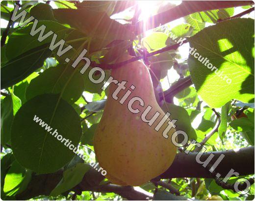 Parul pom fructifer