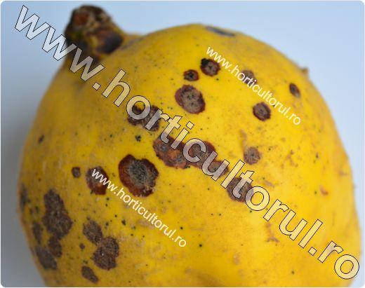 Patarea bruna a fructelor de gutui -Diplocarpon maculatum.jpg