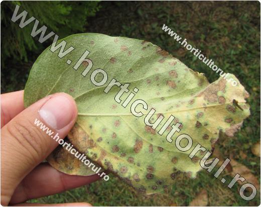 Patarea bruna a frunzelor de gutui -Diplocarpon maculatum
