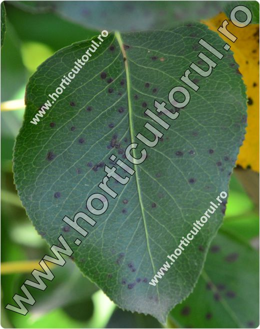 Fig.13 Patarea bruna a frunzelor de gutui (Diplocarpon maculatum)