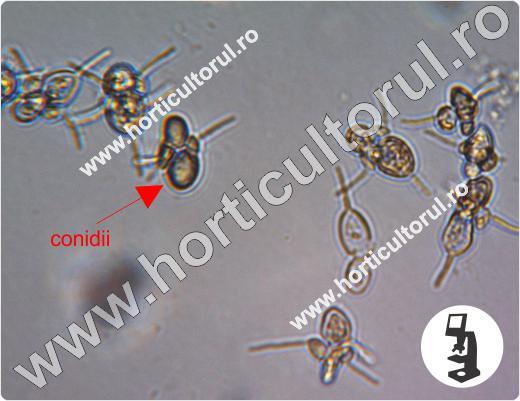 Entomosporium maculatum