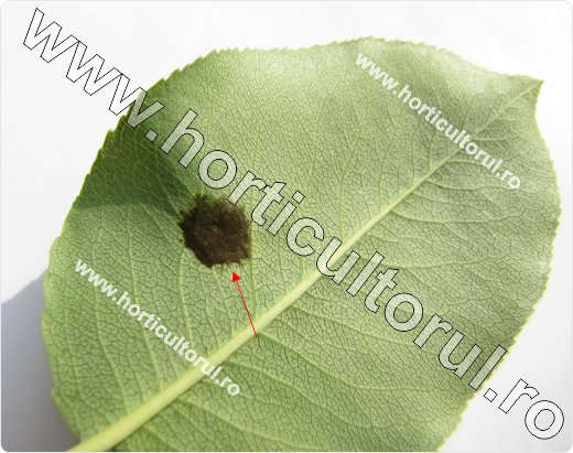 Rapanul parului (Venturia pyrina, V. pirina)