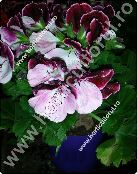 Fig. 1 Muscate englezesti(Geranium spp.)
