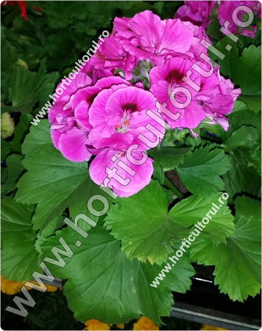 muscate englezesti-Geranium
