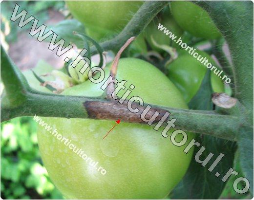 Putregaiul bazei tulpinii la tomate (Didymella lycopersici)