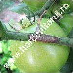 putregaiul bazei tulpinii la tomate-Didymella lycopersici