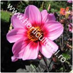 Dalia-Gherghina-Dahlia x hybrida