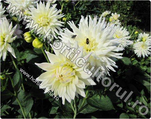Dalia (Dahlia x hybrida)