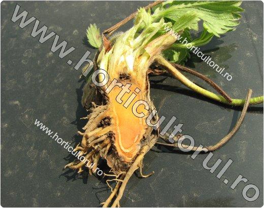 Mana coletului si fructelor de capsun (Phytophthora cactorum)