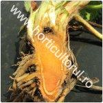 Mana coletului si fructelor de capsun-Phytophthora cactorum