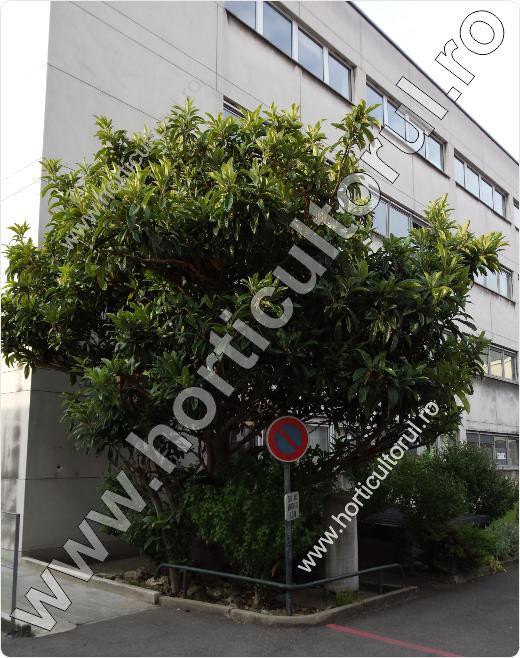 Mosmonul japonez (Eryobotria japonica)