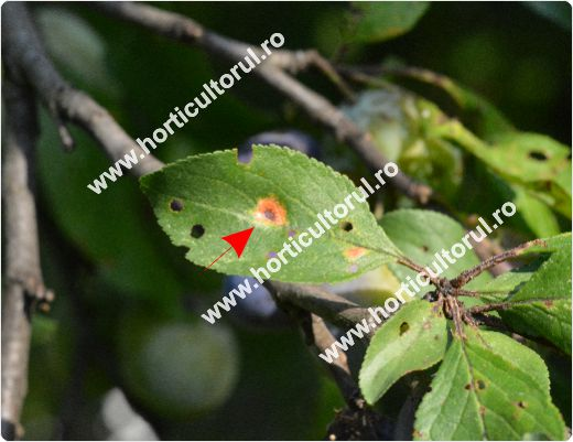 Fig. 4 Patarea rosie a frunzelor de prun (Polystigma rubrum), partea inferioara a frunzei