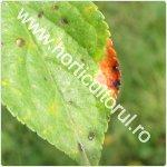 Patarea rosie a frunzelor de prun-Polystigma rubrum