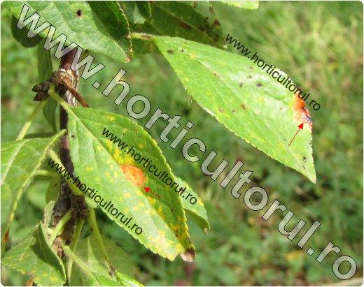 Patarea rosie a frunzelor de prun (Polystigma rubrum)