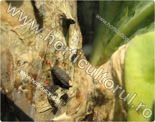 Putregaiul alb la varza (Sclerotinia sclerotiorum)