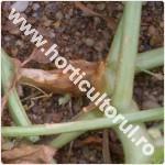 Putregaiul tulpinii pepenilor-Didymella bryoniae