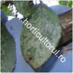 boala frunzelor de argint-plumb