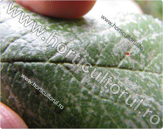 Boala frunzelor de argint (Chondrostereum purpureum)