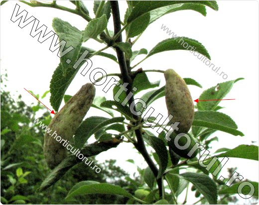 Hurlupi, gurlupi la Prun (Taphrina pruni)