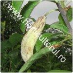 hurlupi-gurlupi-la prun-Taphrina pruni