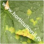 patarea unghiulara la castraveti-Pseudomonas lachrymans