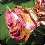 putregaiul cenusiu la trandafiri-Botrytis cinerea