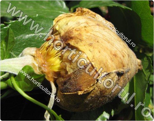Putegaiul cenusiu la trandafiri (Botrytis cinerea)
