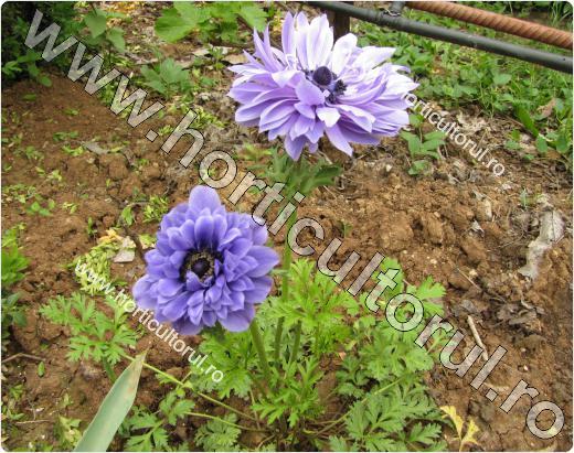 Anemone- Floarea Pastelui