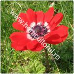 Anemone- Floarea Pastelui_1