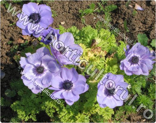 Anemone- Floarea Pastelui_2