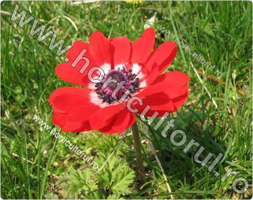 Anemone- Floarea Pastelui_3