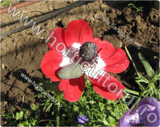 Anemone- Floarea Pastelui_4