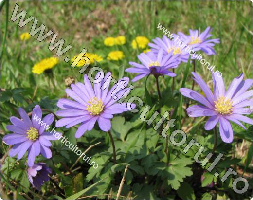 Anemone- Floarea Pastelui_5